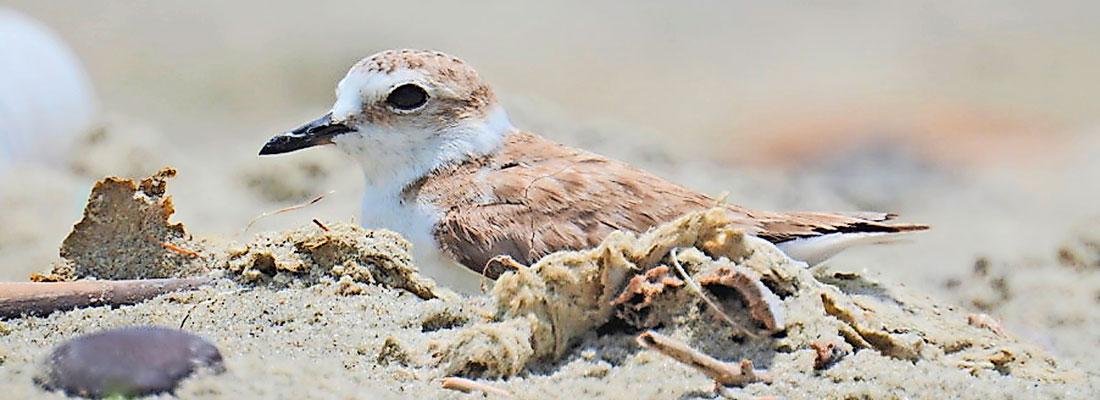 Big step for  little shorebird