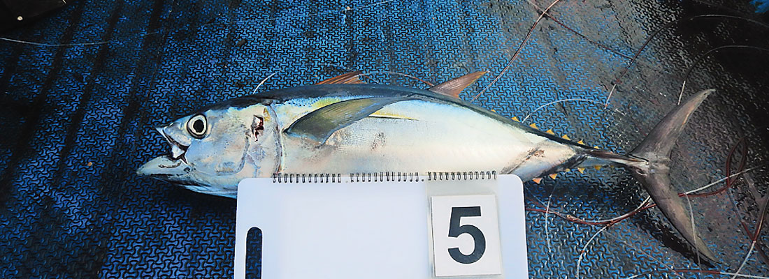 An opportunity to harvest Indian Ocean yellowfin tuna sustainably