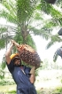Myths and facts of  coconut oil and palm oil