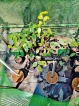 One and only legume tree saved from expressway axe