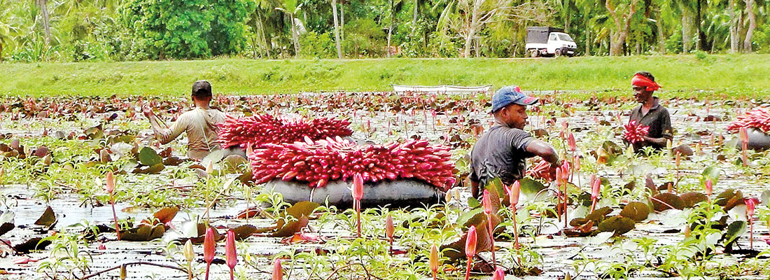 Colourful blossoms for the Gods  The scenic Muriyakulama Wewa in Puttalam dotted with blooming water lilies is a sight to behold.