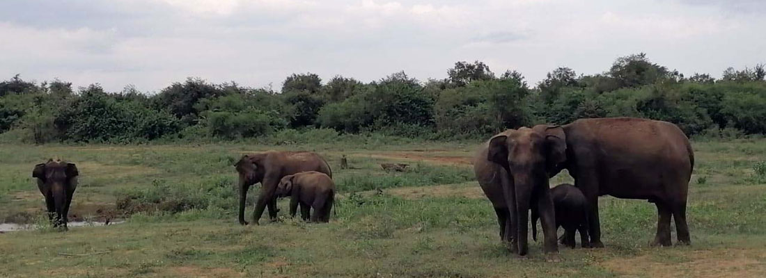 Pandemic? No, it's party time in Lanka's wildlife parks: Animals are free, happy and making love