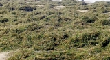 After Yaas, seawater  algae on Mannar coast