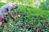 Future of Ceylon Tea in grave crisis