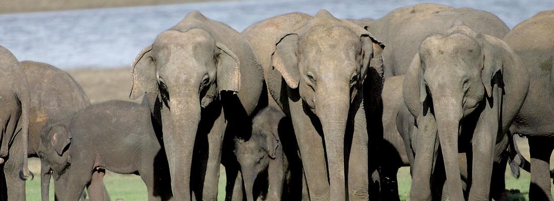 'For the Sri Lankan Elephant'