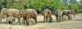 Protecting Pinnawela's rare twins should be priority, says captive elephant expert